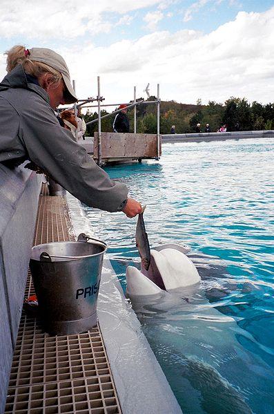 Feeding a beluga whale