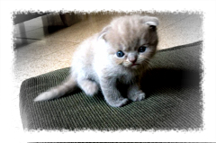 A Scottish Fold Kitten