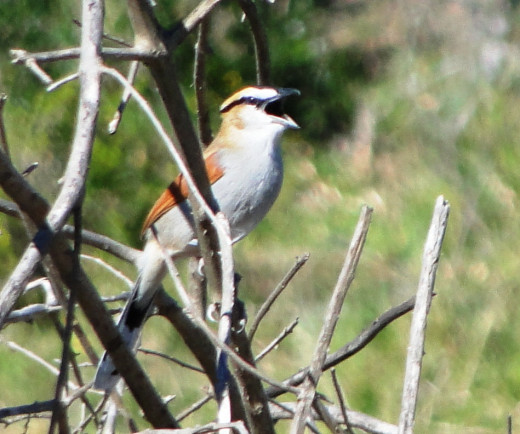 Brown-capped Tchagra- in full song