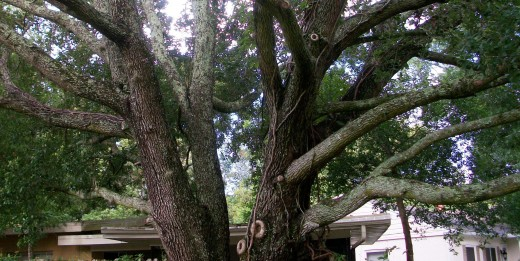 Live Oaks trees make College Park, Orlando Florida beautiful and home to thousands of Eastern Grey Squirrels.
