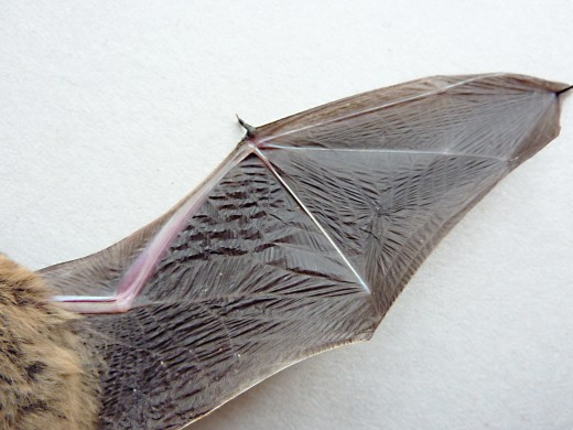 The undersurface of a bat wing, showing the free thumb