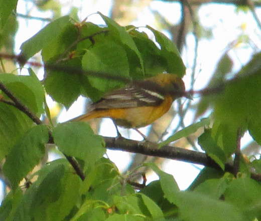 Female Northern Oriole looking for insects on the tree leaves.