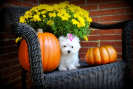 Maltese puppy sitting next to yellow flowers