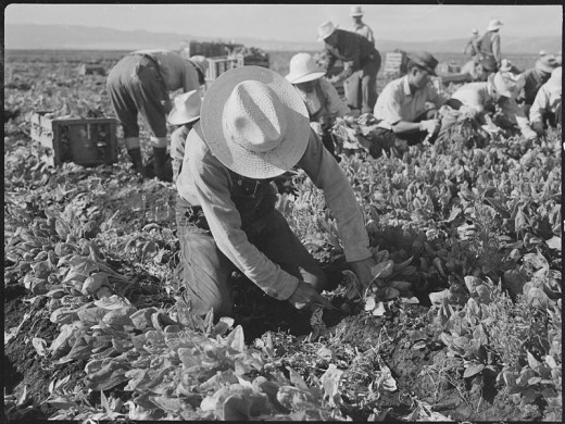 Harvesting Spinach In California during WWII