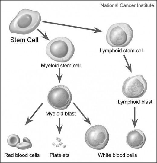 The cell path to regeneration of 3 types of cells in bone marrow.