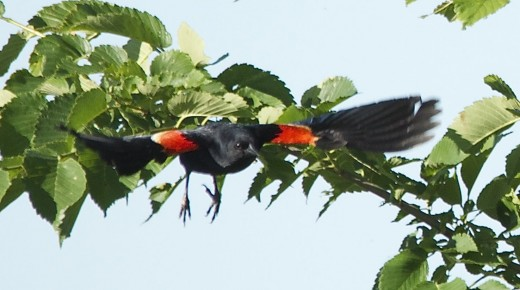 Red-winged Blackbird Diving After Prey