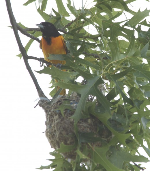 Baltimore Oriole Over His Nest