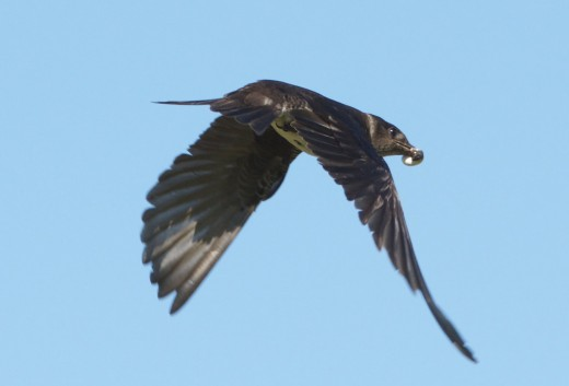 Purple Martin Removing Fecal Sac