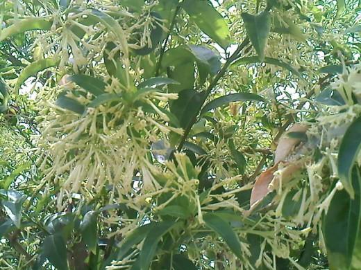Dama de Noche flowers (Cestrum nocturnum.)