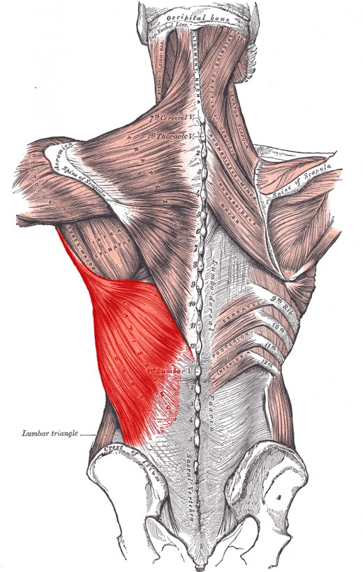 This segment specifically is targeted. The latissimus dorsi are the muscles that give width to the back.