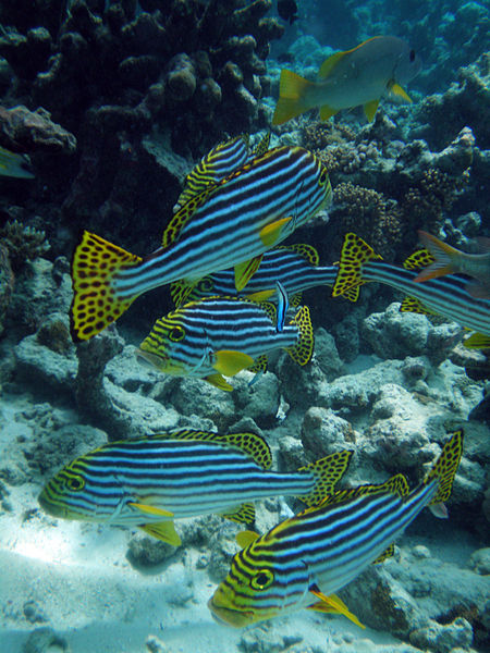 Oriental Sweetlips (Plectorhinchus vittatus) at Meeru Island, North Male Atoll