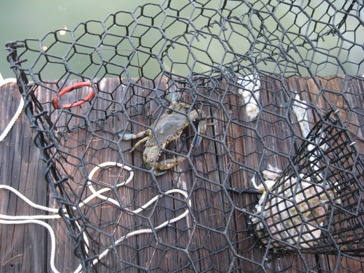 We enjoy catching blue crabs.