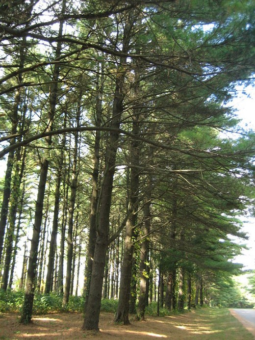 In southern Pennsylvania we hiked through some pure stands of white pine forest that looked similar to what is pictured here.