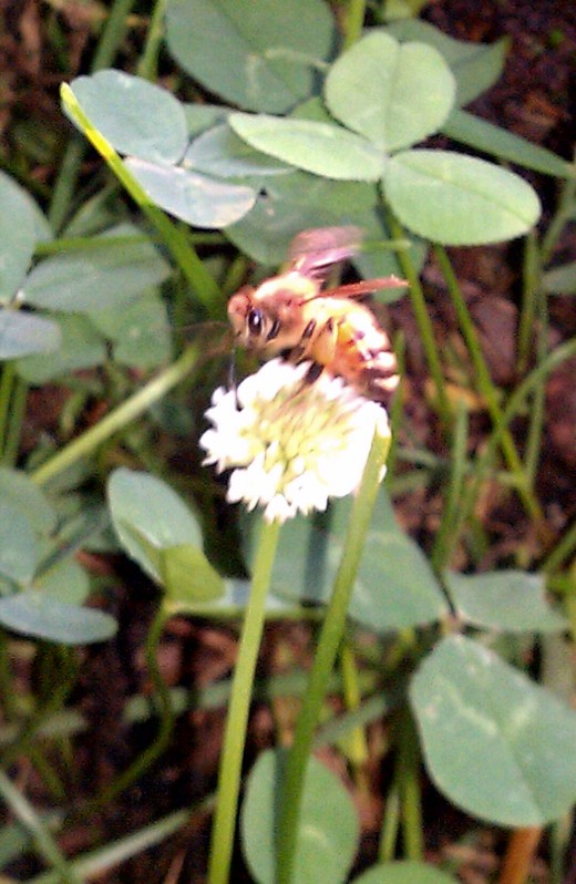 The honeybee flies from flower to flower collecting nectar to eventually create honey.
