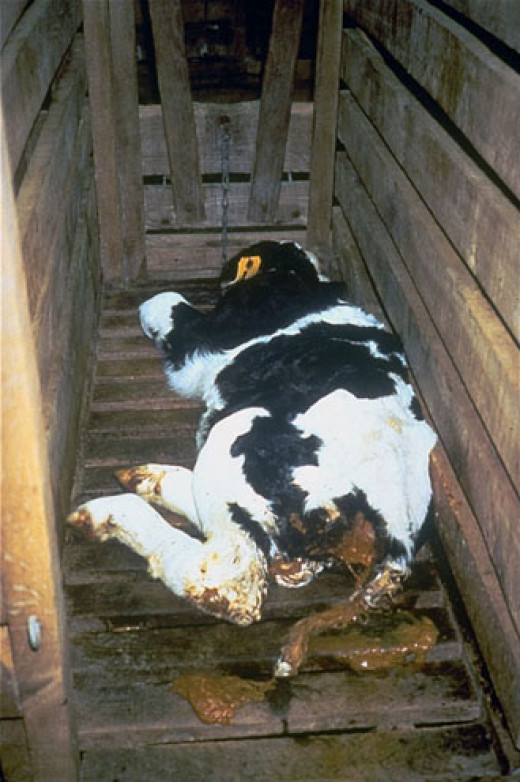 by consuming dairy, this is the life you are giving these babies until they are killed for their flesh