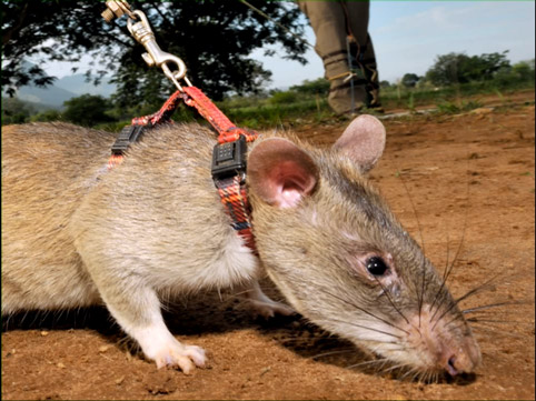 giant African rat or hero rat