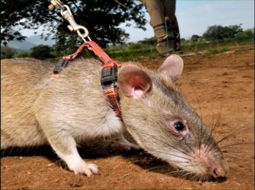 giant African rat or hero rat