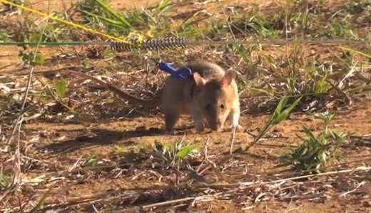 Hero rat , giant African rat or Sniffer rat getting trained to sniff out the bombs hidden