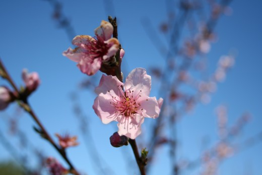 Peach tree blossoms in early spring.