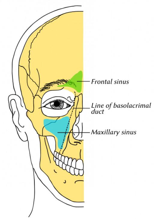 Human Sinus's