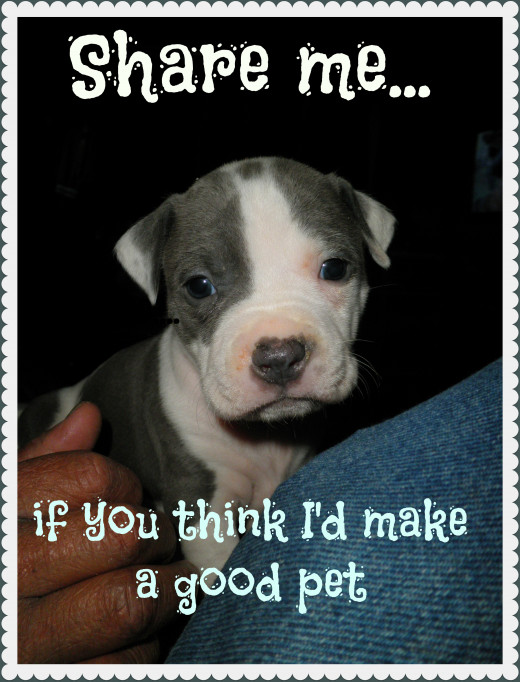 "I love Pit-Bulls - and write about them. This is one my sons puppies that I added text too for my hub about ""Do PitBulls make Good Pets?"""