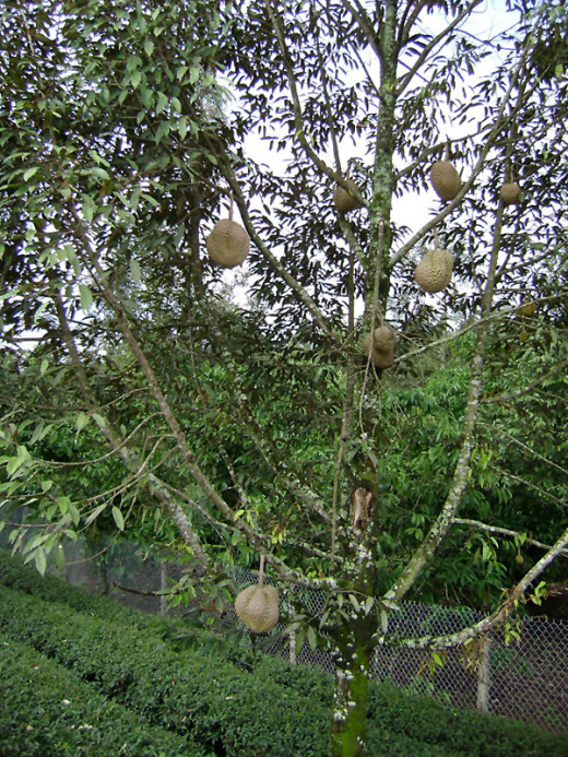 For those who are not familiar, this is how a durian tree looks like.