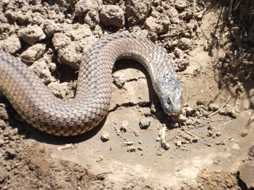 The venom of this Australian Brown Snake makes it one of the deadliest snakes in the world. I emptied and lifted a large plant pot semi-buried in the ground and found this Eastern Brown beneath it.