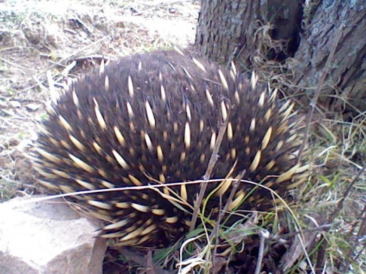 As soon as an echidna spots you, it rolls into a ball and scratches into the ground.