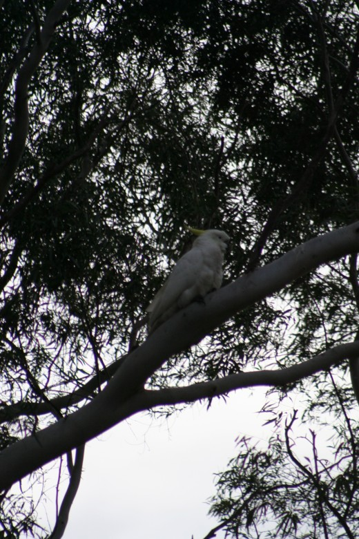 White cockatoo calling its friends to say it can see fruit on my trees and they should all come for a feed!