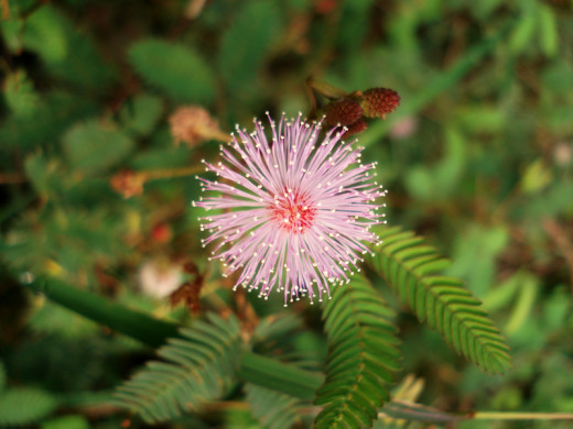 A flower of the sensitive plant (mimosa pudica)