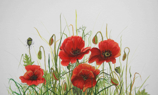 Poppies in water colour. poppies have long been revered as beautiful and useful wild flora