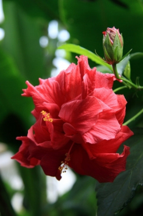 hibiscus may be used to enhance red hair color.