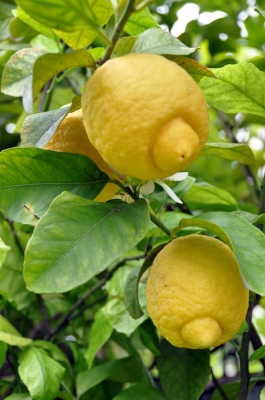lemons are one of the most versatile fruits and may be used in making mouthwash, face masks, cleansers and cooling body sprays.