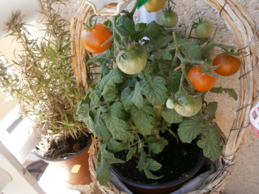 A sweet Egyptian cherry tomato and Rosemary fighting for space. To give you an idea of cost of spices the rosemary cost about 20 cents