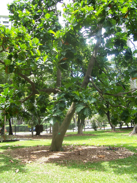 Breadfruit Tree - Foster Botanical Garden