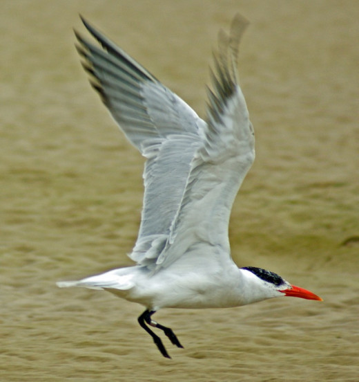 Artic Tern with ringed leg