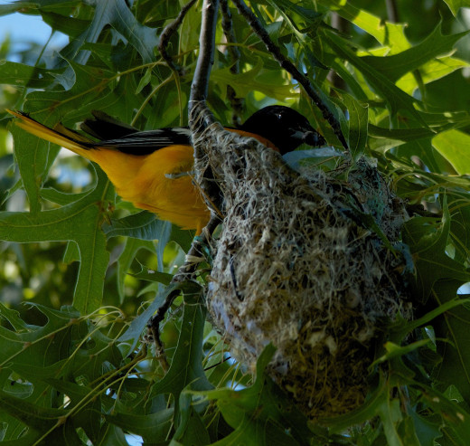 Male Baltimore Oriole at Hs Nest with Dinner in His Beak