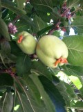 Thinning Fruit on an Apple Tree