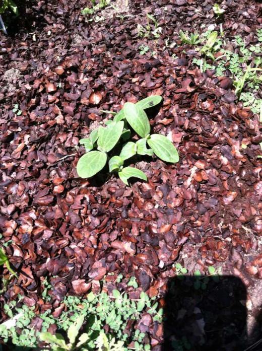 Sowbugs ate my new pumpkin seedlings! The horror...