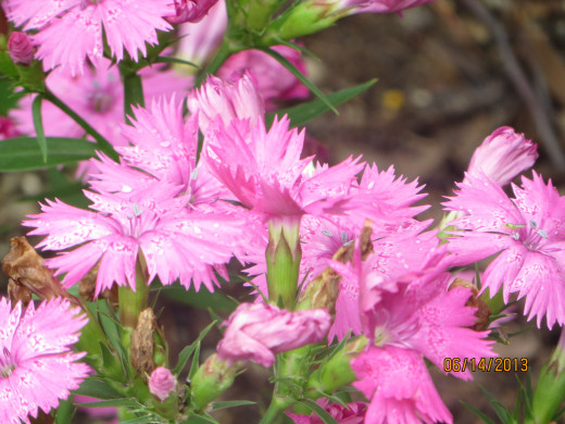 A pink dianthus in the early morning.