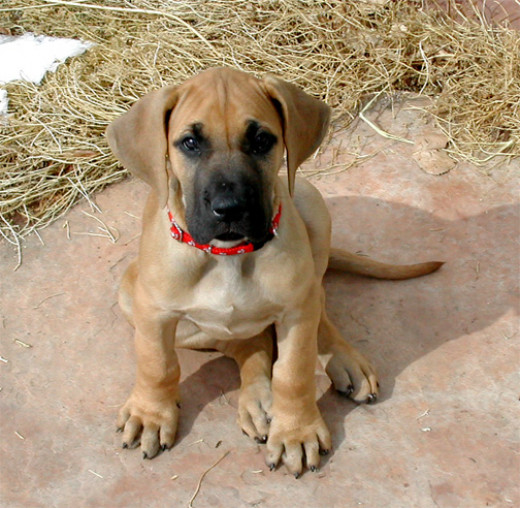 A Great Dane puppy, though this one is sort of a cutie.