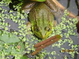 A bullfrog who thinks he's well hidden