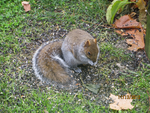 A squirrel eating bird seed.
