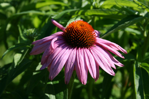 Many birds such as gold finches love the seeds from purple coneflower.