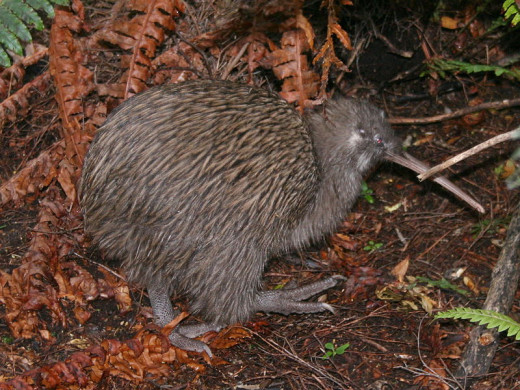 The fruit were named after the kiwi bird, the symbol of New Zealand, because their hairy skins were thought to resemble the bird.