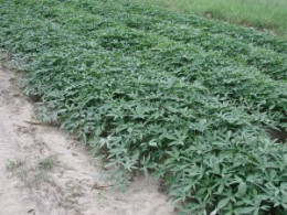 A Huge Field Of Sweet Potatoes Growing In Alabama.