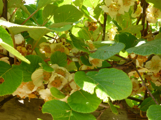 Kiwifruit Flowers