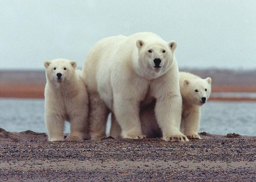 What kind of future lies ahead for the polar bear?