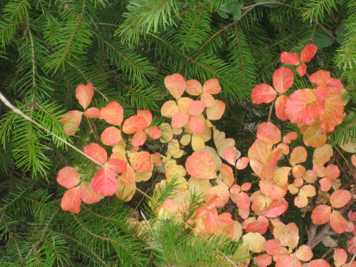 Pinks, reds, and oranges are common poison oak fall colors