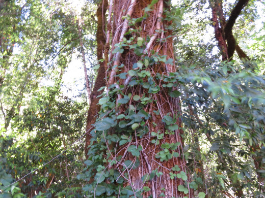 Sometimes, poison oak makes impressively large vines